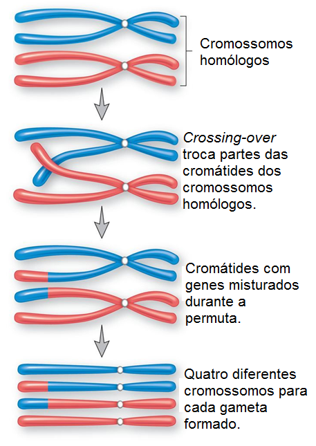crossing-over, meiose