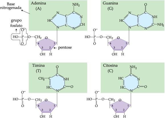 nucleotídeos, bases nitrogenadas, DNA