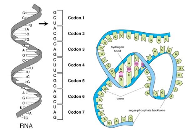 RNA, estrutura tridimensional do RNA