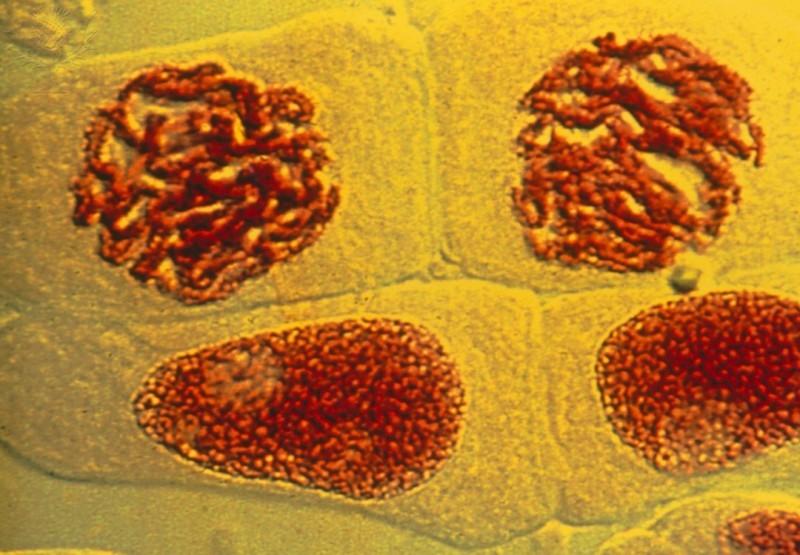 intérfase, cromatina - mitose