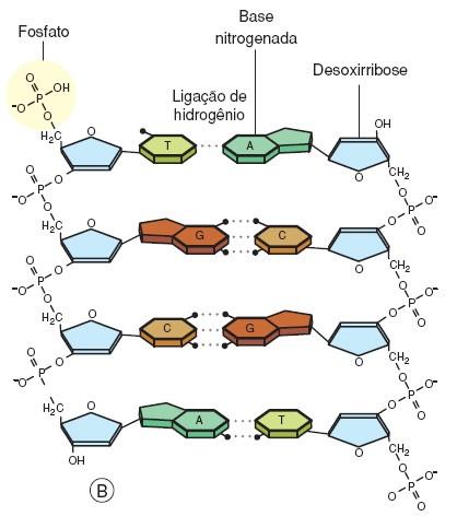 pentose-fosfato, ponte de hidrogênio, nucleotídeos, bases nitrogenadas, DNA