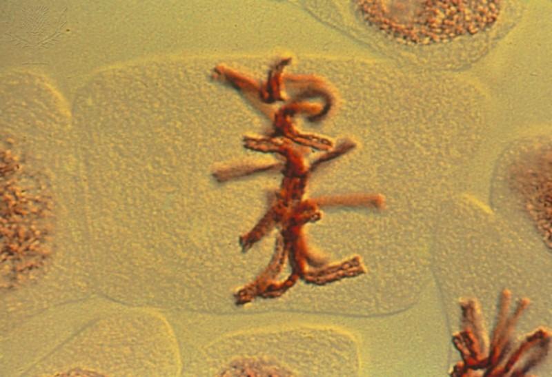 mitose, metáfase, divisão celular