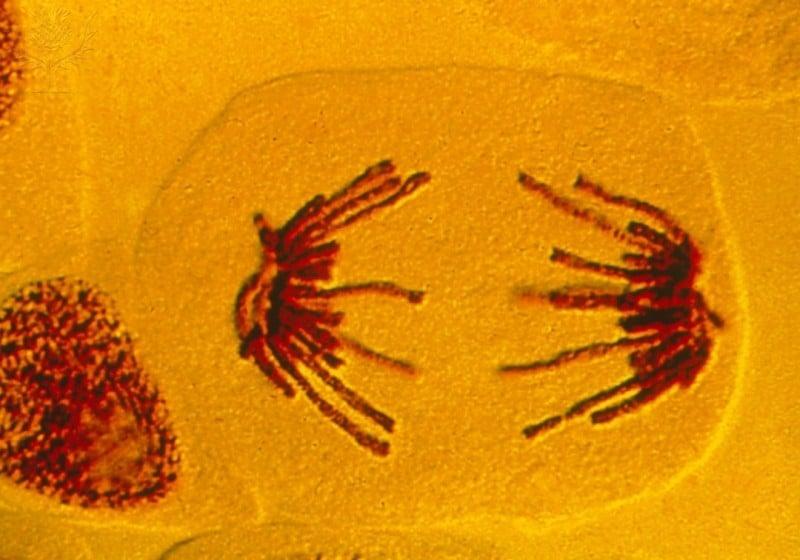anáfase, mitose, divisão celular