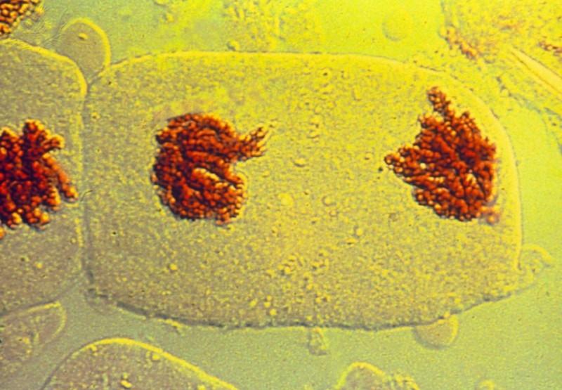 telófase, divisão celular, mitose